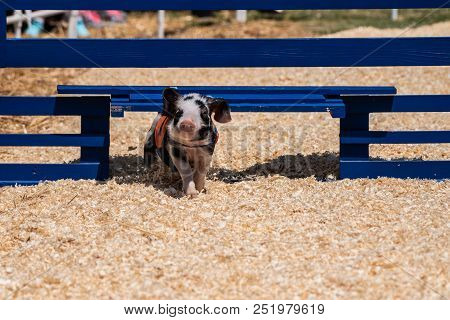 Smart Racing Pig Finds Gate In Fence Barrier While Running Through Course And Win The Race.