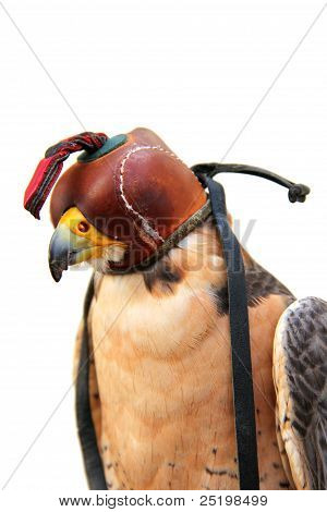 bird of prey with leather cap on white poster