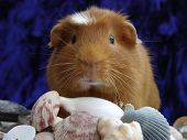 guinea pig standing on some seashells. poster