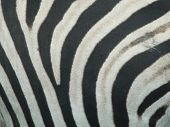 A close-up photo of a zebra's stripes poster