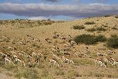 Herd of springbok feeding on grass in the Kalahari poster