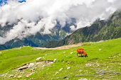 Wild red cow on meadow in Himalaya mountains poster