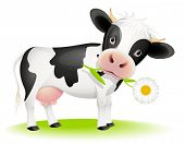 Little black and white cow eating daisy poster