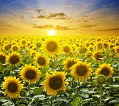 Summer landscape: beauty sunset over sunflowers field poster