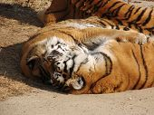 two tigers sleeping and embracing each others in Madrid Zoo poster