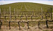 Barbera vineyard during spring season Monferrato area Piedmont region Italy poster
