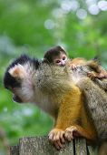 squirrel monkey with very young baby poster