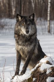 Black Phase Grey Wolf (canis Lupus) Poses - Captive Animal
