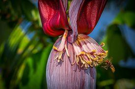 Hornet Flying For Flower Of A Banana Tree