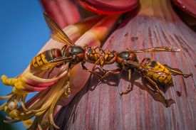 Two Hornets, Family Of The Wasp, Are Fighting Together