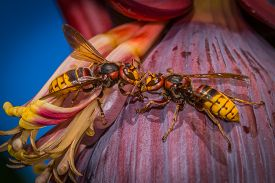 Two Hornets Are Fighting Together On A Banana Tree. Or Kissing?