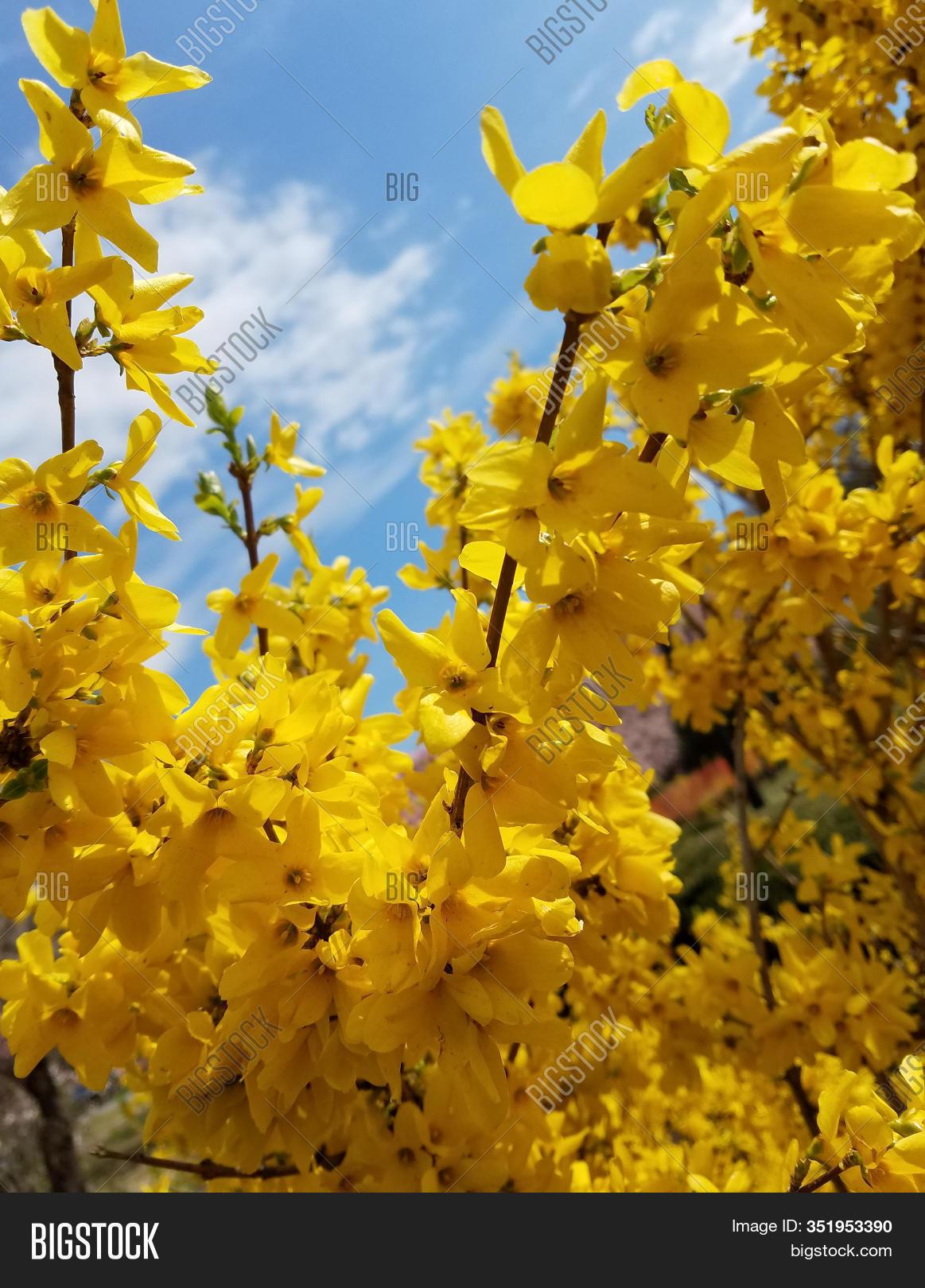 Yellow Bushes Image Photo Free Trial Bigstock