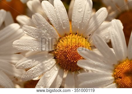 Large Oxeye Wild Daisy With Morning Sunlight And Dew Drops. Natural Flower Close Up In The Wild.