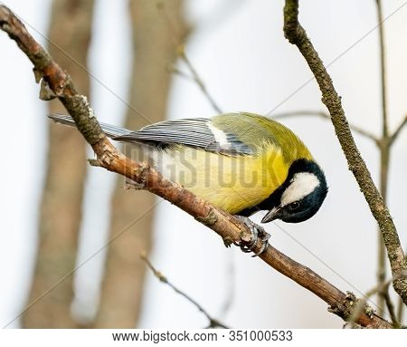 Great Tit Or Yellow-bellied Tit Bird
