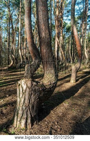 The Crooked Forest Krzywy Las Near Gryfino In Poland