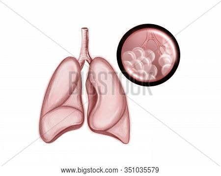 Illustration Of The Healthy  Human Lungs. Alveoli