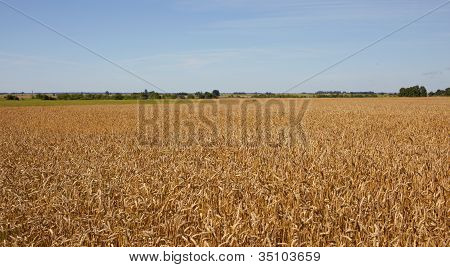 Harvest-2012. Wheat Field Background.