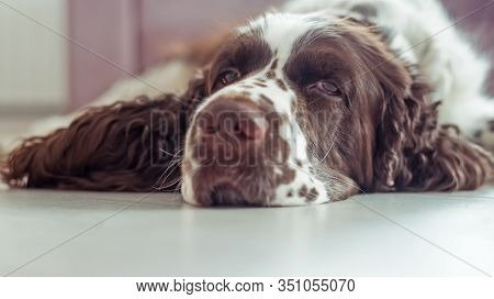 Sad Dog Breed English Springer Spaniel Is Lying Down On The Floor Waiting For His Family, The Owner