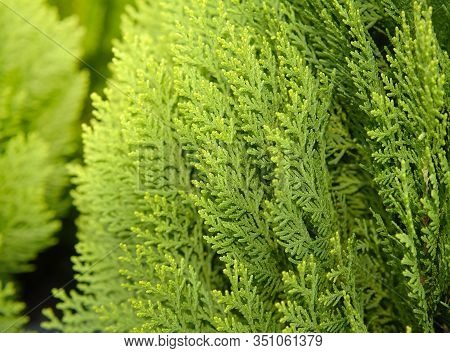 Japanese Cypress (chamaecyparis Obtusa) Or Hinoki Cypress Branch, Christmas Evergreen Background.