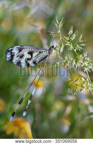 Nemoptera Coa In Its Natural Environment. Macro.