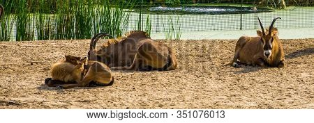 Group Of Roan Antelopes Resting Together, Tropical Animal Specie From The Savanna Of Africa