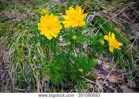 Adonis Vernalis, Known As Pheasants Eye, Spring Pheasants Eye, Yellow Pheasants Eye And False Helleb