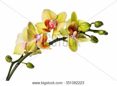 Beautiful Phalaenopsis Orchid Isolated On White! Orchid!