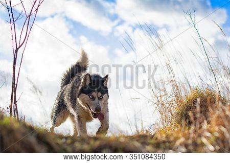 Siberian Husky. Siberian Husky Is Walking On Field.