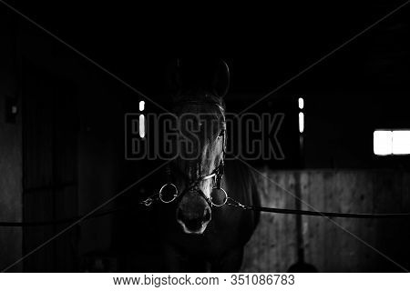 Black Horse, Black Wild Horse In Natural Background, Portrait Of Horse, Black And White