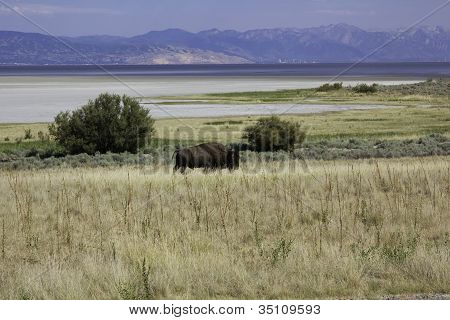 Lone Bison on Antelope Island