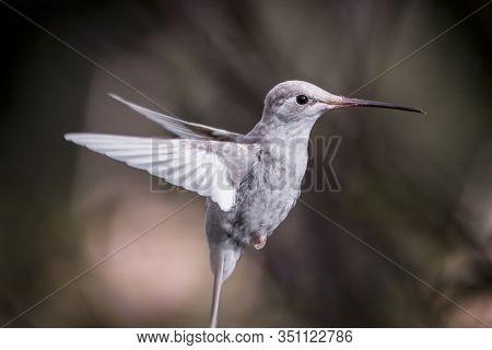 Rare White Leucistic Magnificent Hummingbird (eugenes Spectabilis) San Gerardo De Dota, Costa Ricara