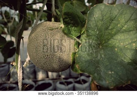 Young Sprout Of Japanese Melons Or Green Melons Or Cantaloupe Me