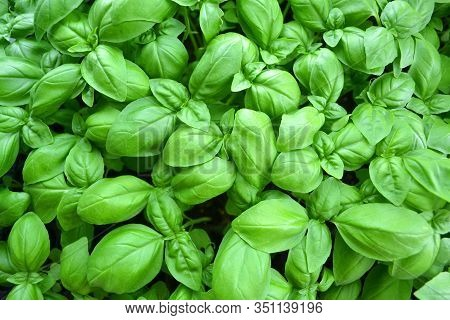 Cultivated Basil Plants From Above, Basil Leaves. Ingredient, Twig.