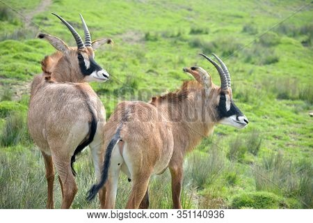 Herd Of Blesbuck, Antelope Cervicapra, Antelopes In Grassland And Wooded Area