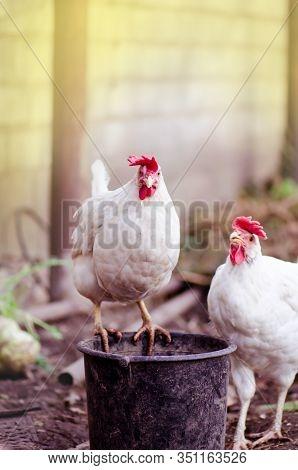Domestic Cock In A Village. Gallus Gallus Domesticus