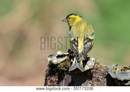 A Male Siskin, Carduelis Spinus, Is Perched On An Old Tree Stump Showing Its Detailed Wing Feathers