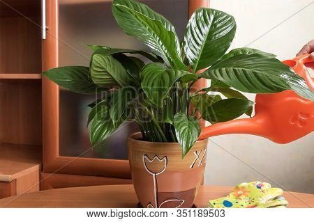 Caring For A Beneficial Houseplant Spathiphyllum, Watering And Spraying