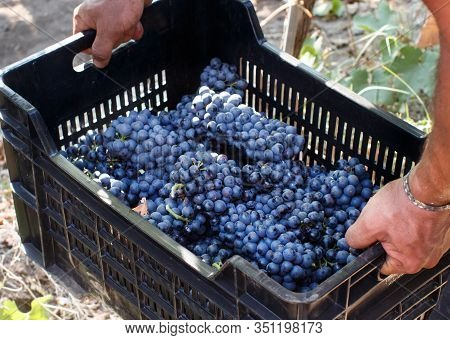 Man Takes A Plastic Crate With Grapes During Grape Harvest In South Italy, Puglia