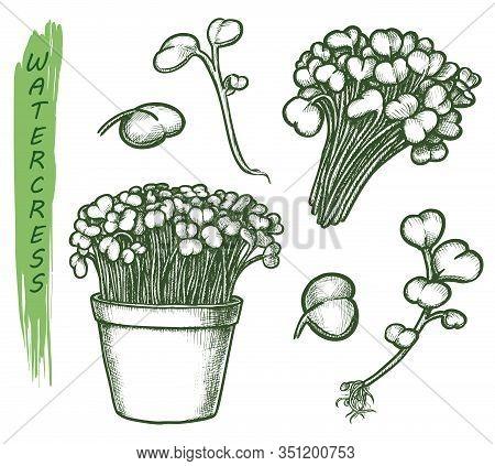Sketch Watercress Salad Plant, Herbal Food Set