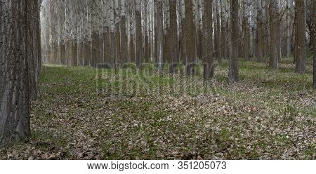 Straight Poplars Trunks In A Poplar Platation Or Forest.