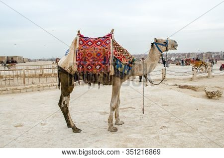 Cairo, Egypt - January 14, 2020 : Camels Near The Cheops Pyramid