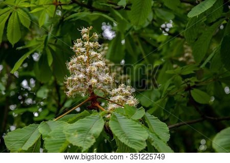 Pyramid Shape White Blossoms Of Chestnut Tree On Green Blurry Background. White Flowers Among Lush F