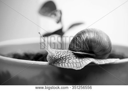 Cute Snail Near Green Plant. Natural Remedies. Adorable Snail Close Up. Little Slime With Shell Or S