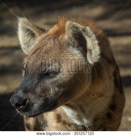 Portrait  Of A Spotted Hyena, Crocuta Crocuta