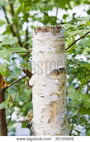 Aspen Tree Stump Close Up