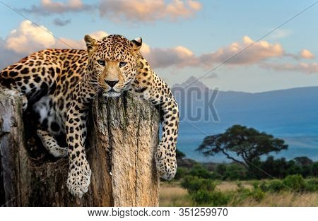 Leopard On The Tree Against The Background Of A African Landscape