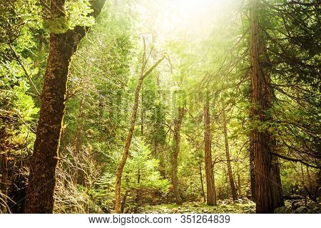 Old Giant Sequoia Trees In Yosemite National Park In Sunny Day With Light Rays. Famous Travel Touris