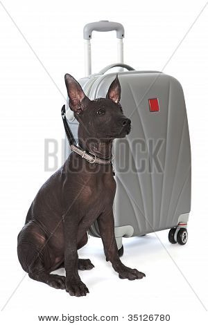 Shot of Mexican xoloitzcuintle puppy with the suitcase poster
