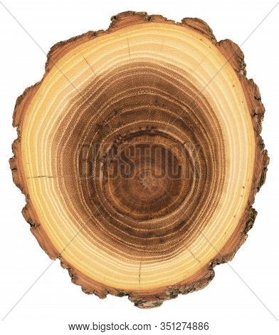 Acacia Wood Slab With Growth Rings And Bark Isolated On White Background Overhead View