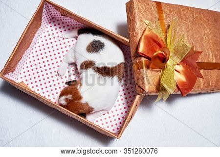 Puppy Of Jack Russell Sleep In A Gift Box